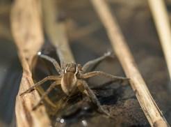 araignée dolomèdes7 (1 sur 1)