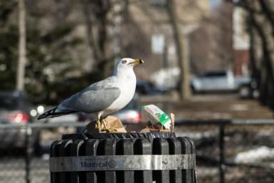 goélands poubelle (1 sur 1)
