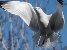 goélands vole proche (1 sur 1)