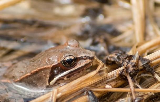 grenouille des bois face (1 sur 1)