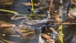 grenouille des bois11 (1 sur 1)