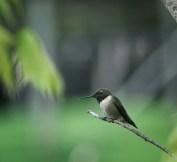 colibri9 (1 sur 1)