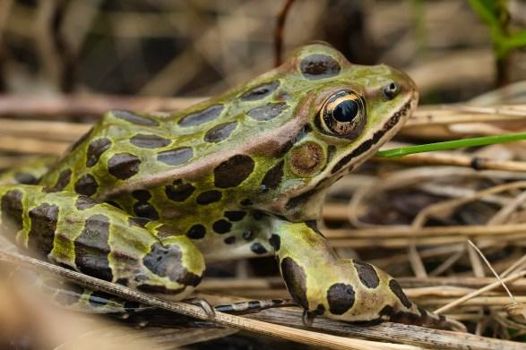grenouille léopard (1 sur 1)