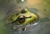 grenouille verte2 (1 sur 1)