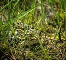 grenouille voit moustique (1 sur 1)