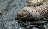 tortue serpentine morte3 (1 sur 1)