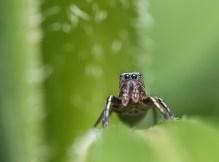 araignée sauteuse (1 sur 1)