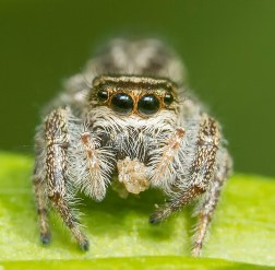 araignée sauteuse mange3 (1 sur 1)