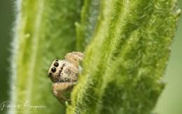 araignée sauteuse4 (1 sur 1)