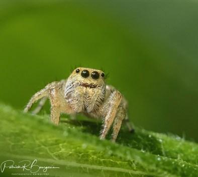 araignée sauteuse6 (1 sur 1)