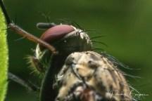 tête de mouche3 (1 sur 1)