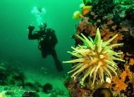 anémone plongeur (1 sur 1)