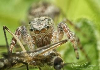 araignée sauteuse moustique2 (1 sur 1)
