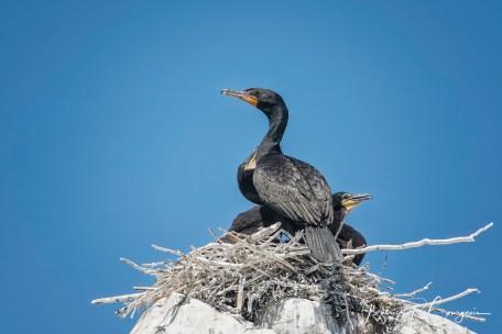 cormoran (1 sur 1)