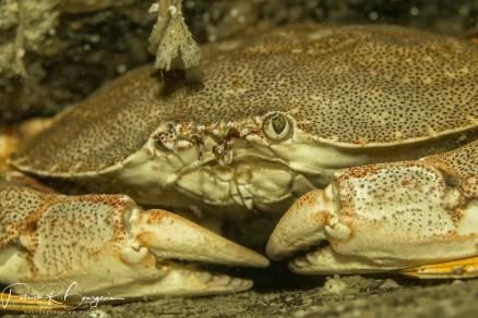 crabe commun face (1 sur 1)