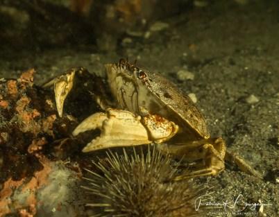 crabe dressé (1 sur 1)