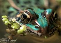 grenouille léopard bleue2 (1 sur 1)