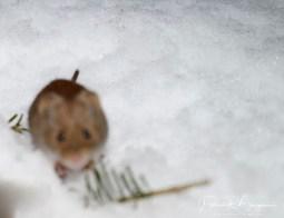 souris pattes blanches3 (1 sur 1)