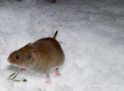souris pattes blanches4 (1 sur 1)