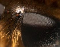 abeille oeil
