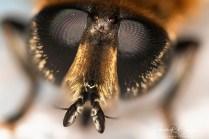 abeille tête