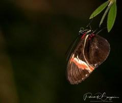 papillon18
