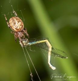 araignée leste6