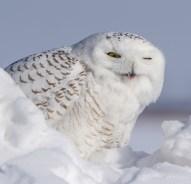 harfang neige12