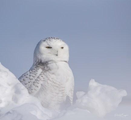 harfang neige8