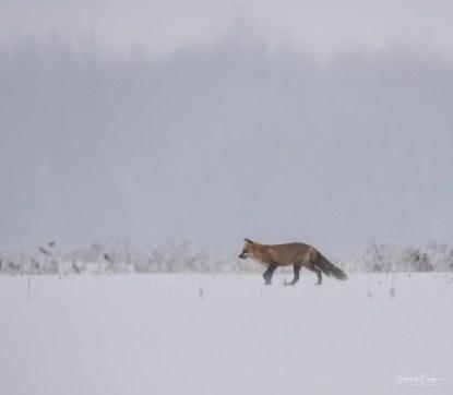 renard grésil18