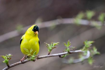 chardonneret jaune male branche