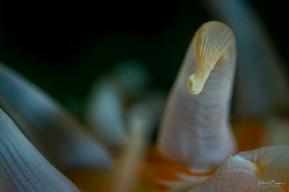 anémone tentacule
