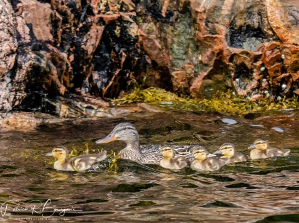 canards famille