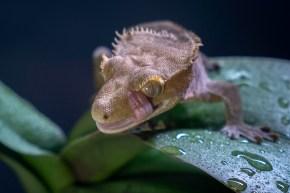 gecko11