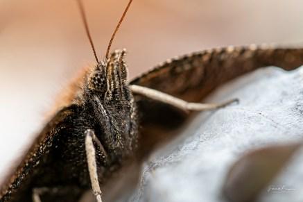 papillion morio2