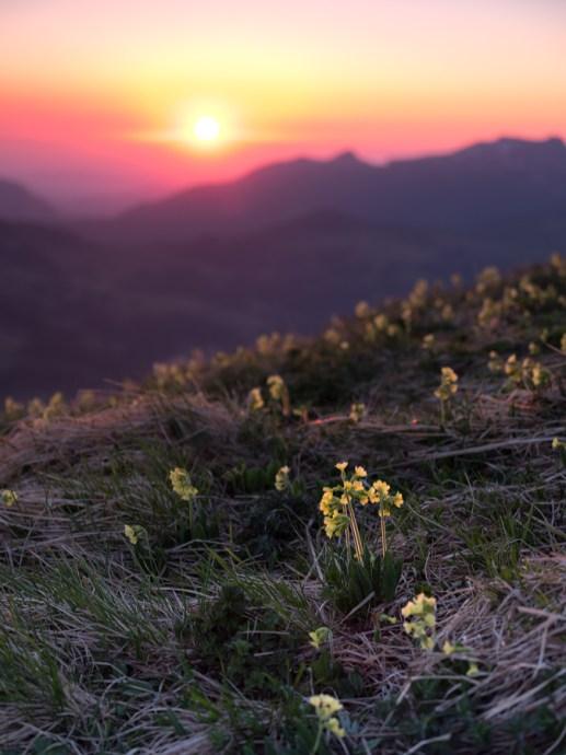 Alpenblumen im Sonnenuntergang