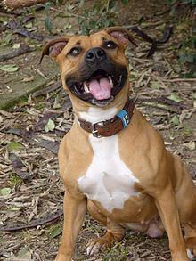 220px-AMERICAN_STAFFORDSHIRE_TERRIER