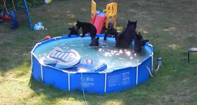 bearsonlyswim