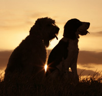 Two dogs sticking out their tongues in front of a sunset.