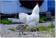 6 - fagianino e gallo