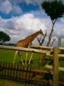 giraffe things going on.