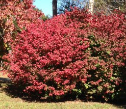 """It's easy to see how Euonymus alatas got the common name, """"Burning Bush"""" since it looks like it's ablaze this time of year."""