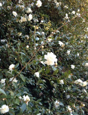 With its profusion of white flowers, Camellia x 'Snow Flurry' is well-deserving of its name.