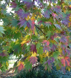 Acer shirasawanum 'Palmatifolium', Full Moon Japanese Maple, provides a lovely array of leaf colors during the fall season.