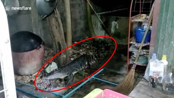 crocodile wild police pensioner home pattayatoday news