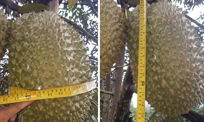 Giant 18-kg durian in Tak put on auction