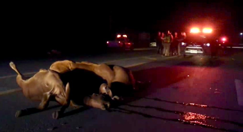 Six cows hit, killed by trailer truck in Suphan Buri