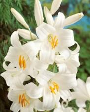 Madonna lilies