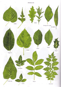 dendrology diagram of leaves
