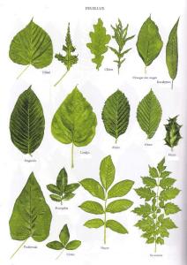 dendrology diagram of leaves